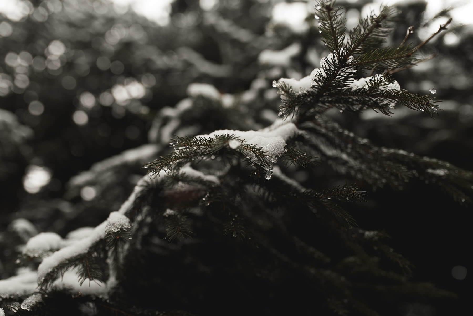 Nadelwald mit Schnee bedeckt